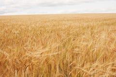 Campo de trigo no fundo do céu azul Imagem de Stock