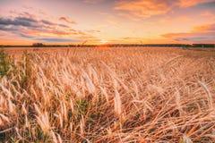 Campo de trigo no fundo do nascer do sol do por do sol Céu dramático colorido Imagens de Stock Royalty Free