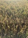 Campo de trigo no luminoso da manhã Fotos de Stock Royalty Free