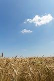 Campo de trigo no meio do verão Imagem de Stock Royalty Free