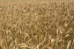 Campo de trigo no meio do verão Imagens de Stock Royalty Free