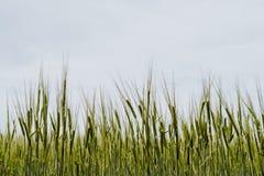 Campo de trigo no norte da Espanha fotografia de stock royalty free