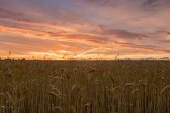 Campo de trigo no por do sol fotografia de stock