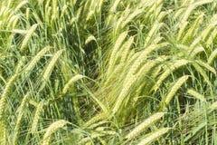 Campo de trigo no verão Imagens de Stock Royalty Free