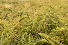 Campo de trigo no verão Imagens de Stock