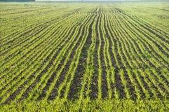 Campo de trigo novo Foto de Stock Royalty Free