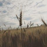 Campo de trigo nublado Imagenes de archivo