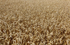 Campo de trigo Oídos del cierre de oro del trigo para arriba Imagen de archivo libre de regalías