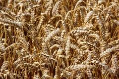 Campo de trigo Oídos del cierre de oro del trigo para arriba Foto de archivo