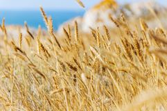 Campo de trigo Oídos del cierre de oro del trigo para arriba fotos de archivo