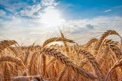Campo de trigo Oídos del cierre de oro del trigo para arriba foto de archivo libre de regalías