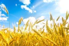 Campo de trigo Oídos del cierre de oro del trigo para arriba Fondo de oídos de maduración del campo de trigo del prado Concepto r Foto de archivo libre de regalías