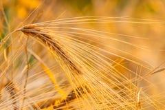 Campo de trigo Oídos del cierre de oro del trigo para arriba Paisaje hermoso de la puesta del sol de la naturaleza Paisaje rural  imagen de archivo