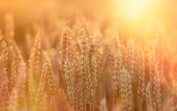 Campo de trigo - o campo de trigo bonito no fim da tarde iluminou-se pela luz solar Fotos de Stock Royalty Free
