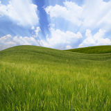 Campo de trigo ondulado verde Fotos de archivo libres de regalías