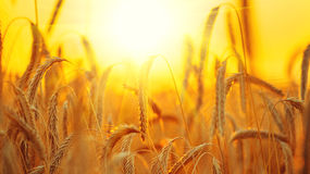 Campo de trigo Orelhas do close up dourado do trigo Fotos de Stock Royalty Free