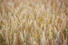 Campo de trigo Orelhas do fim do trigo acima Imagens de Stock Royalty Free