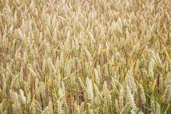 Campo de trigo Orelhas do fim do trigo acima Fotos de Stock Royalty Free