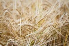 Campo de trigo Orelhas do fim do trigo acima Fundo das orelhas de amadurecimento do campo de trigo do prado Conceito rico da colh Fotografia de Stock