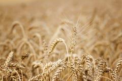 Campo de trigo Orelhas do fim dourado do trigo acima foto de stock royalty free