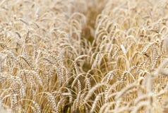 Campo de trigo Orelhas do fim dourado do trigo acima fotografia de stock royalty free
