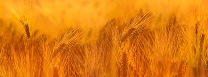 Campo de trigo Orelhas do fim dourado do trigo acima Natureza bonita Sun imagens de stock royalty free