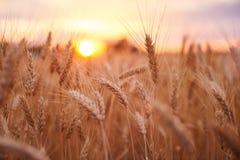 Campo de trigo Orelhas do fim dourado do trigo acima Paisagem bonita do por do sol da natureza Cenário rural sob a luz solar de b fotografia de stock
