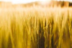 Campo de trigo Orelhas do fim dourado do trigo acima Fotos de Stock