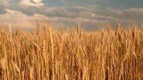 Campo de trigo Orelhas do fim dourado do trigo acima filme