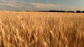 Campo de trigo Orelhas do fim dourado do trigo acima video estoque