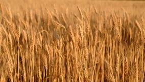 Campo de trigo Orelhas do fim dourado do trigo acima vídeos de arquivo