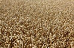 Campo de trigo Orelhas do fim dourado do trigo acima Imagem de Stock Royalty Free