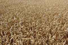 Campo de trigo Orelhas do fim dourado do trigo acima Foto de Stock
