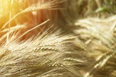 Campo de trigo Orelhas do fim dourado do trigo acima Luz do verão, dourada Imagem de Stock Royalty Free