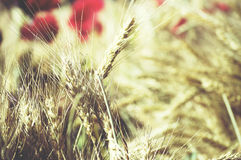 Campo de trigo Orelhas do fim dourado do trigo acima Luz do verão, dourada Fotos de Stock Royalty Free