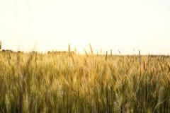 Campo de trigo Orelhas do fim dourado do trigo acima Natureza bonita Sun Imagens de Stock