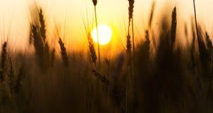 Campo de trigo Orelhas do fim dourado do trigo acima Natureza bonita Sun Imagem de Stock Royalty Free