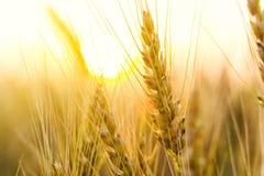 Campo de trigo Orelhas do fim dourado do trigo acima Natureza bonita Sun Fotos de Stock Royalty Free