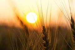 Campo de trigo Orelhas do fim dourado do trigo acima Natureza bonita Sun Foto de Stock