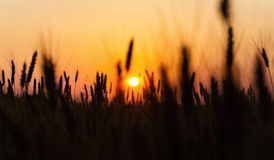 Campo de trigo Orelhas do fim dourado do trigo acima Natureza bonita Sun Foto de Stock Royalty Free