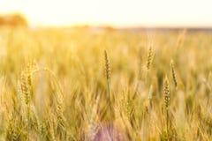 Campo de trigo Orelhas do fim dourado do trigo acima Natureza bonita Sun Fotografia de Stock