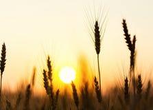 Campo de trigo Orelhas do fim dourado do trigo acima Natureza bonita Sun Fotos de Stock
