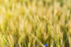 Campo de trigo Orelhas do fim dourado do trigo acima Natureza bonita Sun Imagem de Stock