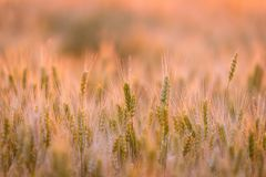 Campo de trigo Orelhas do trigo verde Paisagem bonita do por do sol da natureza Cenário rural sob a luz solar de brilho dourada F imagem de stock