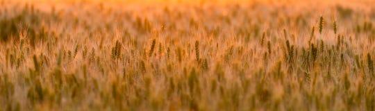 Campo de trigo Orelhas do trigo verde Paisagem bonita do por do sol da natureza Cenário rural sob a luz solar de brilho dourada F imagem de stock royalty free