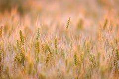 Campo de trigo Orelhas do trigo verde Paisagem bonita do por do sol da natureza Cenário rural sob a luz solar de brilho dourada F fotos de stock