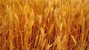 Campo de trigo Orelhas douradas do trigo no campo cultivado agrícola video estoque