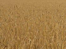 Campo de trigo orgánico antes de la cosecha Imagen de archivo libre de regalías