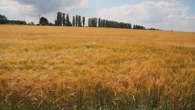 Campo de trigo de oro con los árboles en el fondo almacen de video