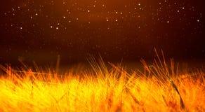 Campo de trigo de oro cubierto con la luz, fondo rojo oscuro Fotos de archivo libres de regalías